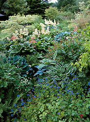 A damp shady area at Glen Chantry filled with hostas, rodgersias, dicentra, corydalis and ferns. Design: Sue and Wol Staines