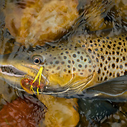 Male brown trout caught in the fall using a J. J. Special (aka, Tequeely) on the South Fork of the Snake River, Idaho.