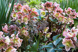 Helleborus × ericsmithii with the young emerging foliage of Anthriscus sylvestris 'Ravenswing' in the Winter Garden at Manor Farm House