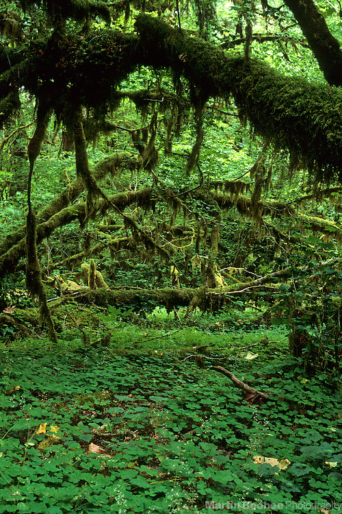 Tangle of vine maple, Hoh Rainforest, Olympic National Park, Washington