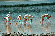 Flock of flamingos wading in a lake. Photographed in Tanzania