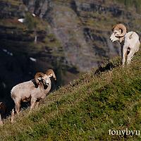 GNP Front wild rocky mountain big horn sheep