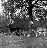 1967 Herd of Deer in Phoenix Park