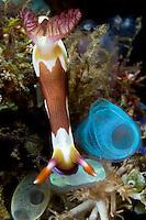 Nudibranch feeding on tunicates
