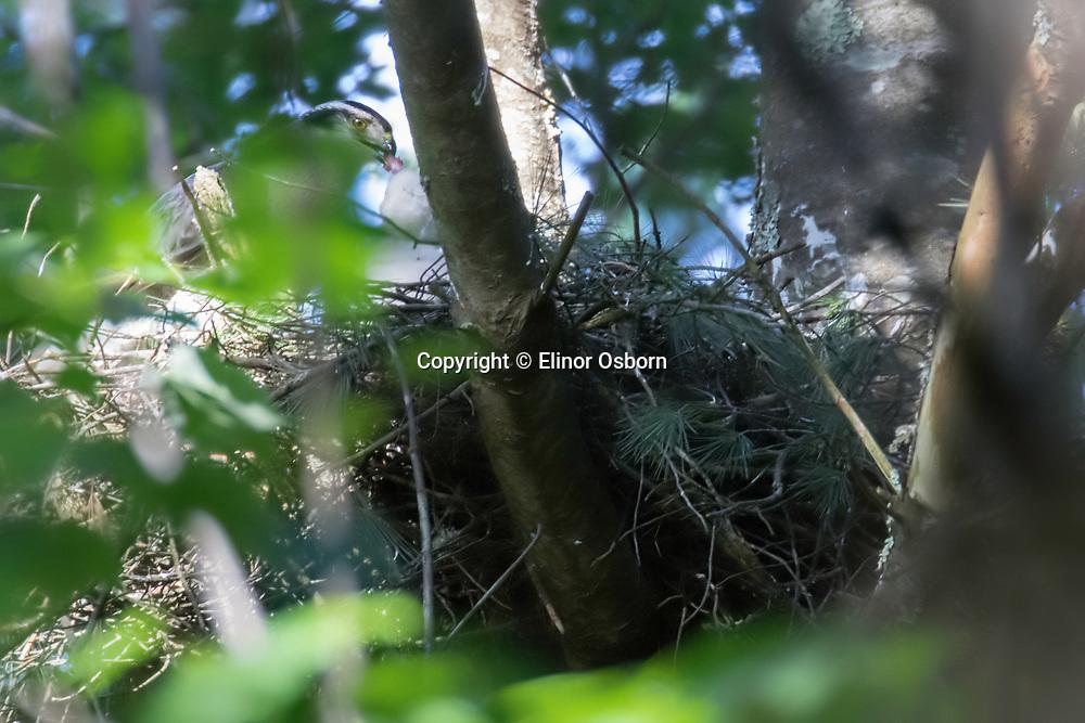 Northern Goshawk adult feeding nestling