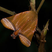 Limacodidae or Euclidae is a family of moths in the superfamily Zygaenoidea or the Cossoidea; the placement is in dispute. They are often called slug moths because their caterpillars bear a distinct resemblance to slugs.They are also called cup moths because of the shape of their cocoons.