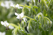 White Borage, Borago officinalis, in organic garden in Oxfordshire UK