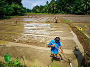 08 OCTOBER 2017 - GAMPAHA, WESTERN PROVINCE, SRI LANKA: Farmers prepare a rice paddy for planting north of Colombo. Farmers in this area usually get two harvests a year out of their paddies.    PHOTO BY JACK KURTZ