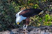 African Fish-eagle (Haliaeetus vocifer) sitting on a tree trunk feeding on a fish