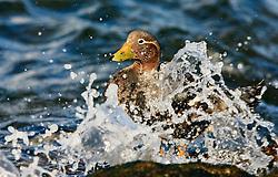 Falkland steamer duck (Tachyeres brachypterus) in water spray, Falkland Islands