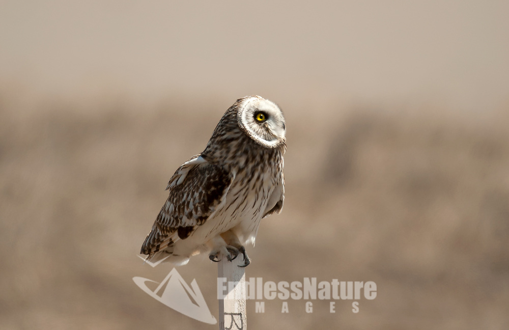 A Short Eared Owl gazes into the sky watching insects that are flying past.