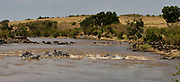 Plains Zebras and Wildebeests crossing Mara River, Kenya, in August 2010.