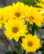 WA11661-00...WASHINGTON - Yellow daisy flower.