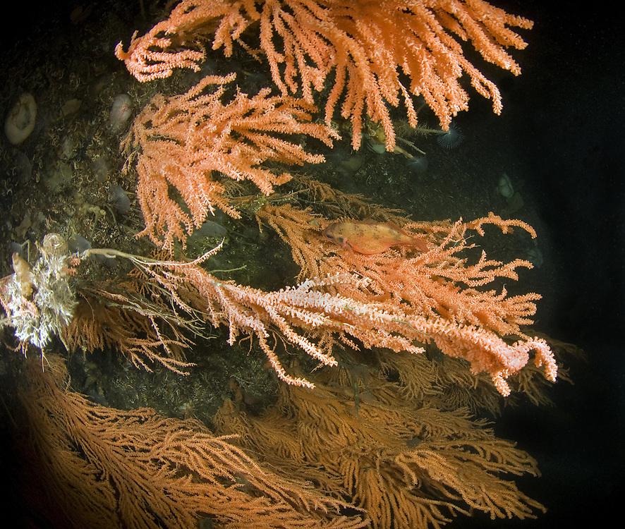 Red tree coral (Primnoa resedaeformis) Norway Haddock (Sebastes viviparus). Location : Trondheimsfjorden, Norway