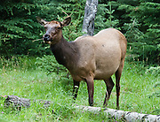 A female (cow) elk (wapiti) browses on grass in the Whistlers Campground, Jasper National Park, Alberta, Canada