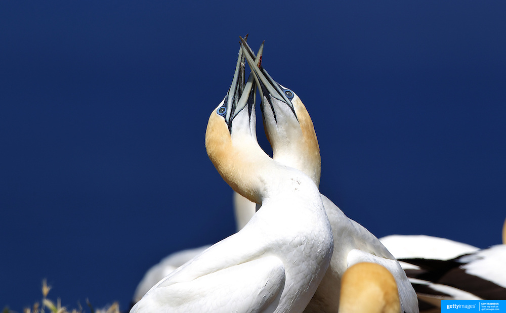 Gannet pairs preen and perform the dance of the gannets' recognition ritual at the Gannet Colony at Cape Kidnappers, Hawkes Bay, New Zealand..The famous Cape Kidnappers Gannet Colony is the largest most accessible mainland gannet colony in the world. Up to 20,000 birds populate the colony on dramatic cliffs high above the Pacific Ocean.  The Gannet's are members of the Booby family, with distinctive black eye markings and a pale gold crown. Visitors to the colony with Gannett Safaris Overland are able to see adults, who have the same life long mating partner and young nesting in serried rows carrying out their daily routine...The birds can be seen from September to early May. In September they return and build their nests ready for the arrival of the chicks during December and January. The chicks are then fattened up ready for their first and departing flight in late April, early May when they go off on their annual ritual to warmer climates. . Cape Kidnappers, Hawkes, Bay, New Zealand, 3rd January 2011. Photo Tim Clayton