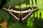 King swallowtail or Thoas swallowtail (Papilio thoas)<br /> Mindo<br /> Cloud Forest<br /> West slope of Andes<br /> ECUADOR.  South America<br /> HABITAT &amp; RANGE: USA, Central &amp; South America