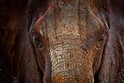 Elephant (Loxodonta africana), Tsavo East National Park, Kenya.