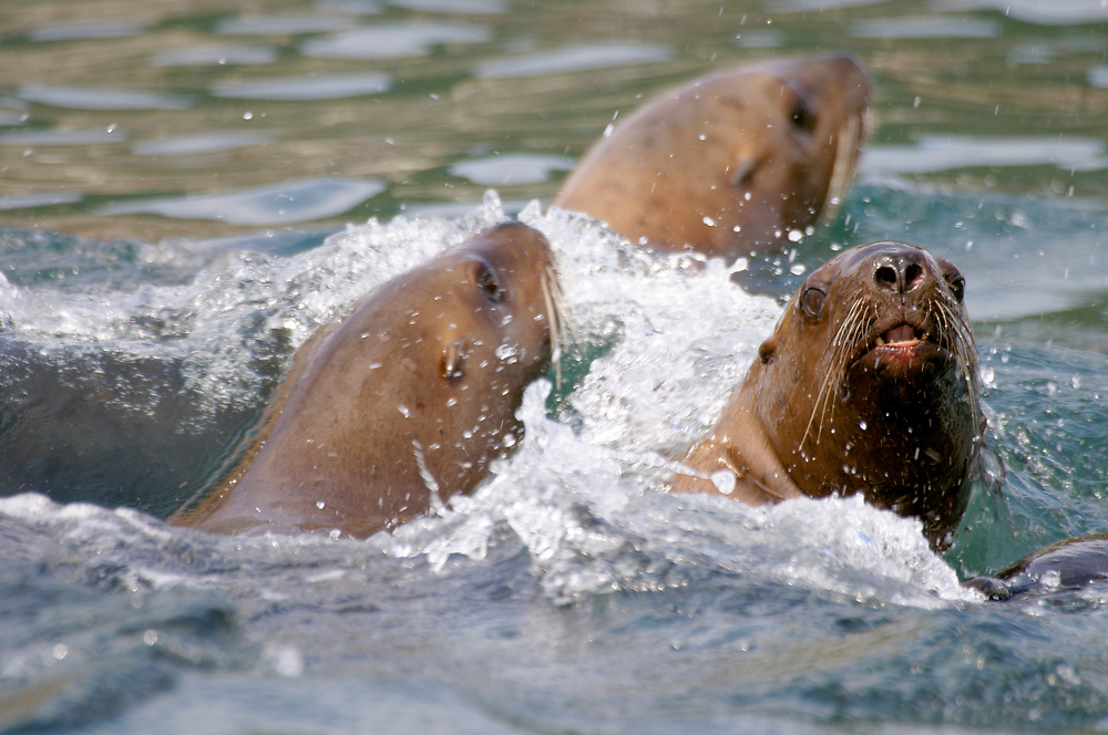 A tight shot of three steller sea lions (Eumetopias jubatus) racing through the water, teeth barred.