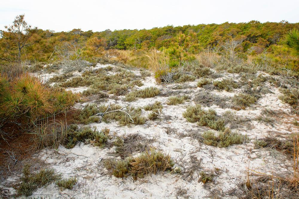 Beach grasses, Maryland end of Assateague Island National Seashore USA.