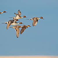 courtship flight, northing pintail ducks courship flight, close up blue sky brown marsh