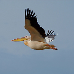 Beautiful pelican flying through the sky.