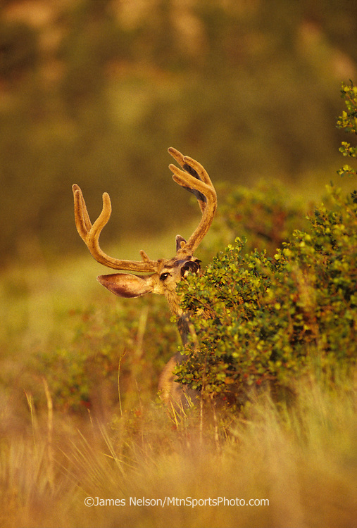 12-656. A mule deer buck with velvet-phase antlers browses in a brush patch in the Rocky Mountains of Colorado.