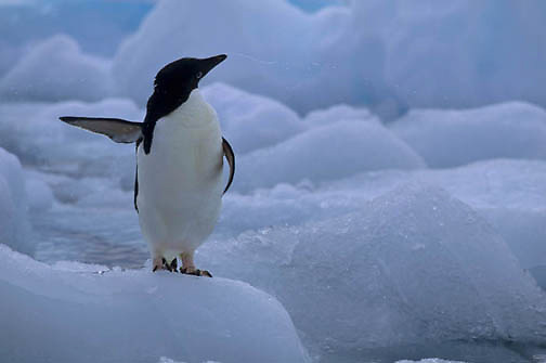 Adelie Penguin, (Pygoscelis adeliae) On ice surrounding Paulet Isle Cooling off. Antarctica Peninsula.