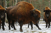 Big bull European bison, Bison bonasus, Drawsko Military area, Western Pomerania, Poland
