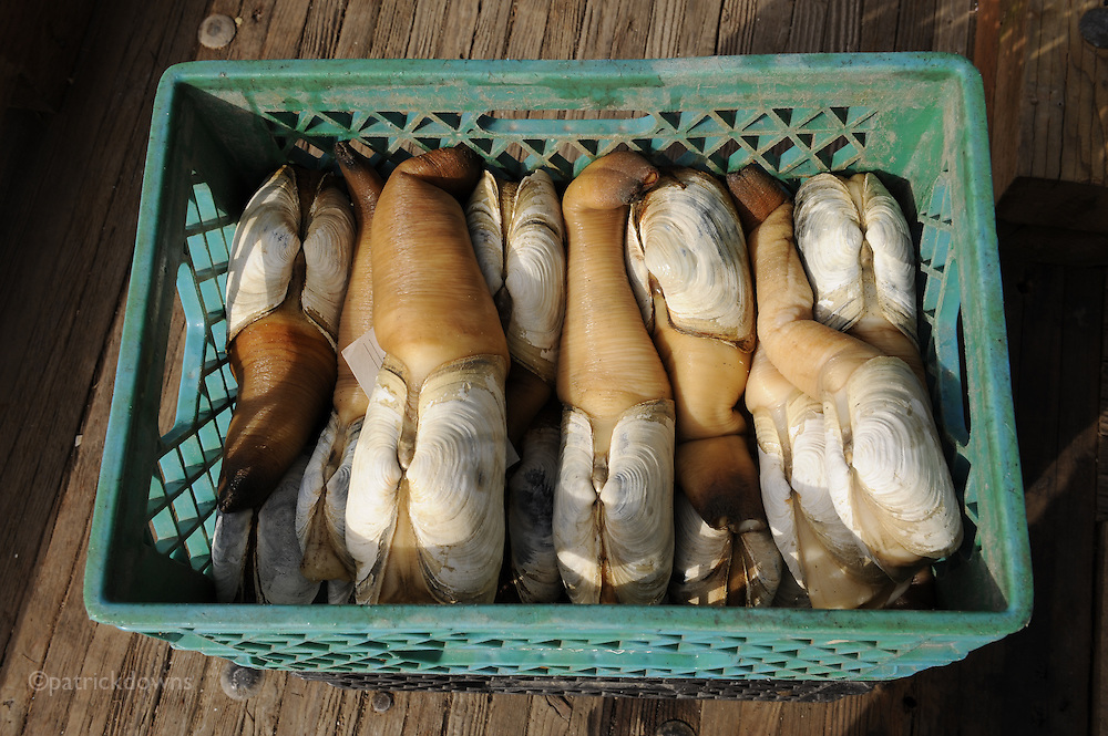 "Geoduck clams fresh off the boat. The unusual name of this clam (pron.: /ˈɡuːiːdʌk/ ""gooey duck"") is derived from a Lushootseed (Nisqually) word meaning ""dig deep"", and the odd spelling is likely the result of poor transcription rather than anything having to do with ducks. Alternate spellings include gweduc, gweduck, goeduck, and goiduck. It is sometimes known as the mud duck, king clam, or when translated literally from Chinese, the elephant-trunk clam. The ""trunk"" can stretch up to four feet to the surface to feed when the clams dig themselves down into the sea floor."