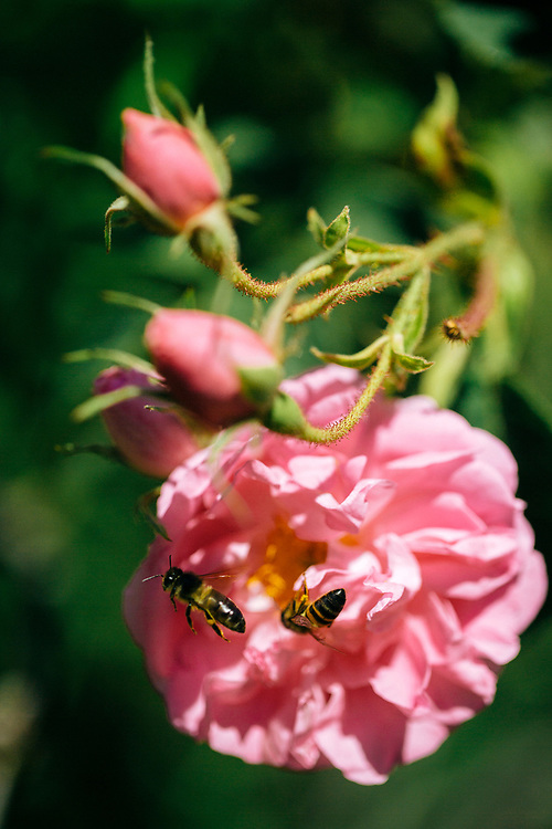 KELAAT M'GOUNA, MOROCCO - 14TH MAY 2016 - Close up of bees pollinating with rose flowers in bloom during the harvest season at the Dades Valley - also known as the 'Valley of Roses' - Southern Morocco.