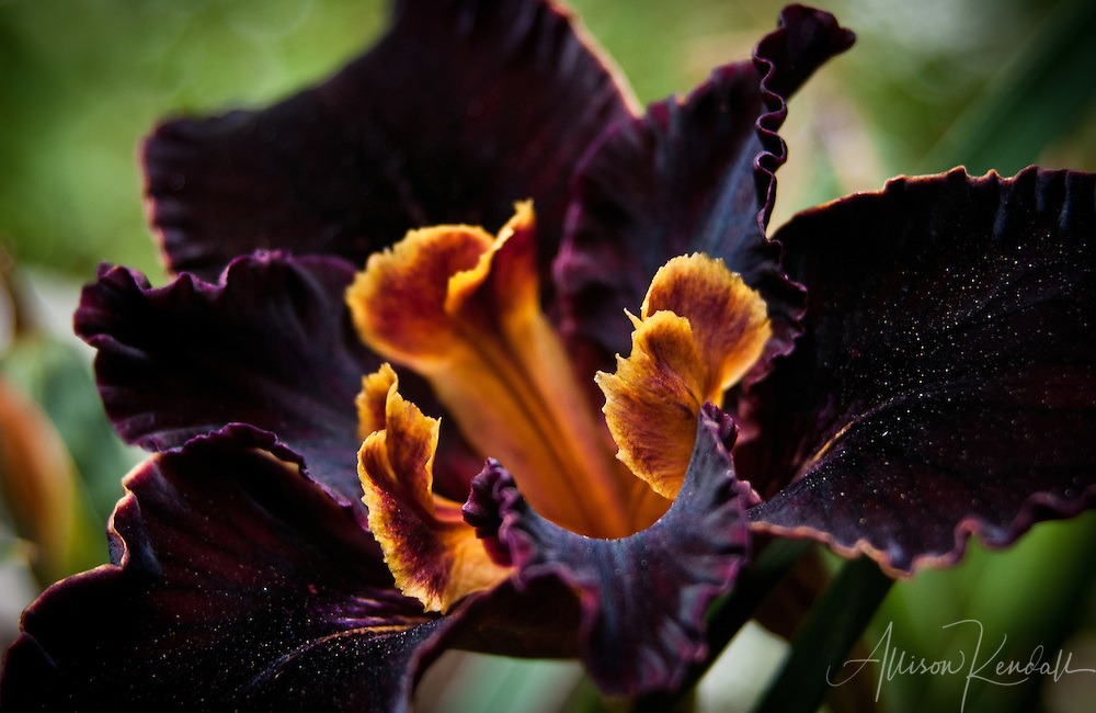 A macro close-up of a black California native iris flower in profile, dusted with golden yellow pollen