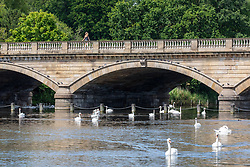 © Licensed to London News Pictures. 17/07/2020. London, UK. Swans enjoy the sunshine on the Serpentine in Hyde Park as weather forecasters predict 28c for the end to the week with rain on Sunday. As Prime Minister Boris Johnson calls for Britons to return to working in offices to help local service industries and the economic recovery. Photo credit: Alex Lentati/LNP