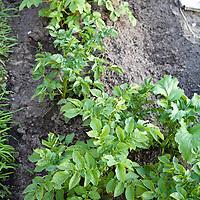 Heirloom potatoes plants in a vegetable garden.
