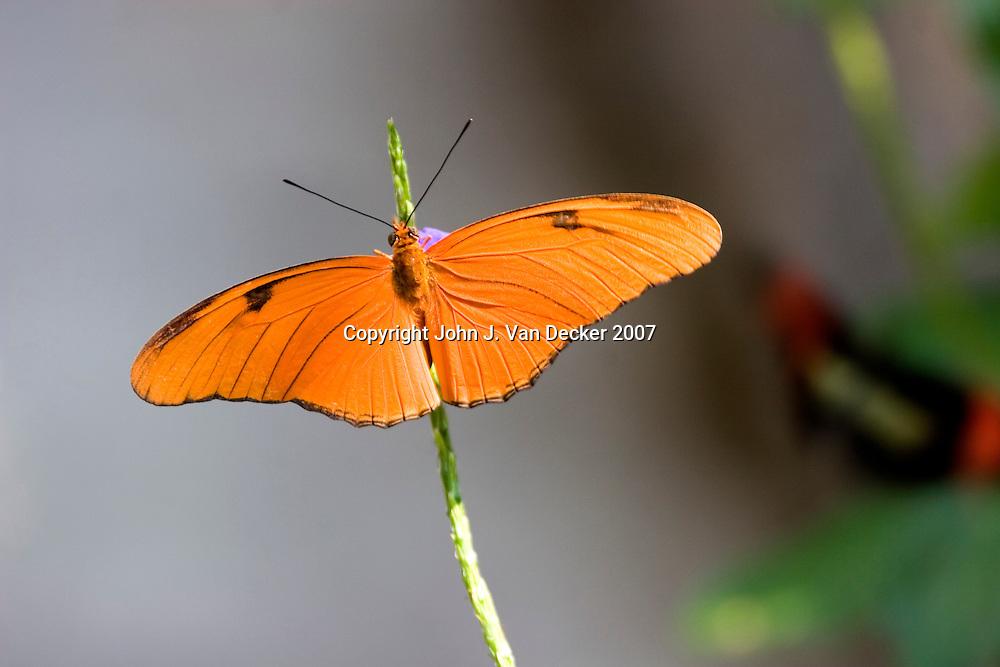 Julia Longwing Butterfly with wings spread