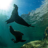 Mexico, Baja del Sur, Underwater view of California Sea Lions (Zalophus californianus) swimming near Los Islotes in Espiritu Santo Biosphere Reserve in Sea of Cortez