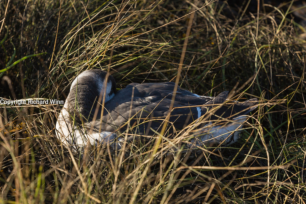 Common guillemot resting amongst grass at the shoreline, near to Kinlochleven, in the Scottish Highlands.