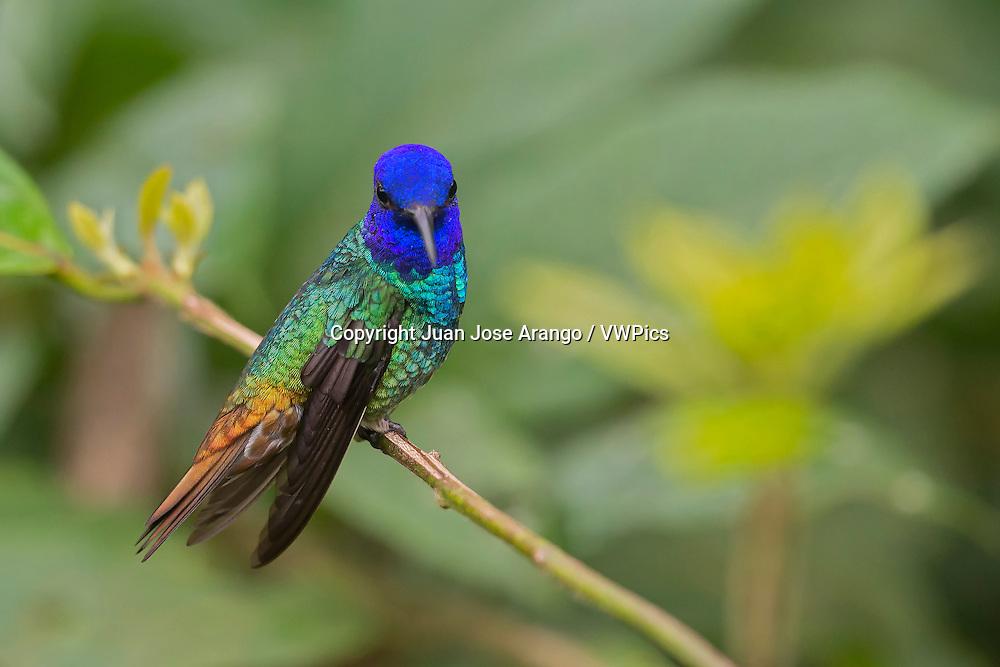 Golden-tailed Sapphire (Chrysuronia oenone), wildsumaco, Ecuador