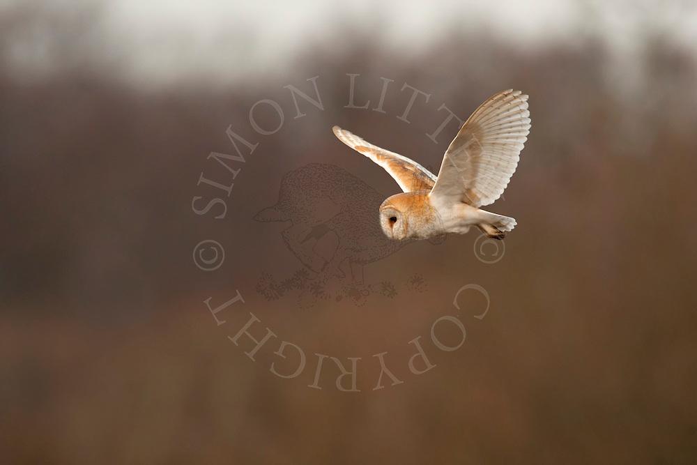 Barn Owl (Tyto alba) adult in flight, hunting. Winter. Norfolk, UK.