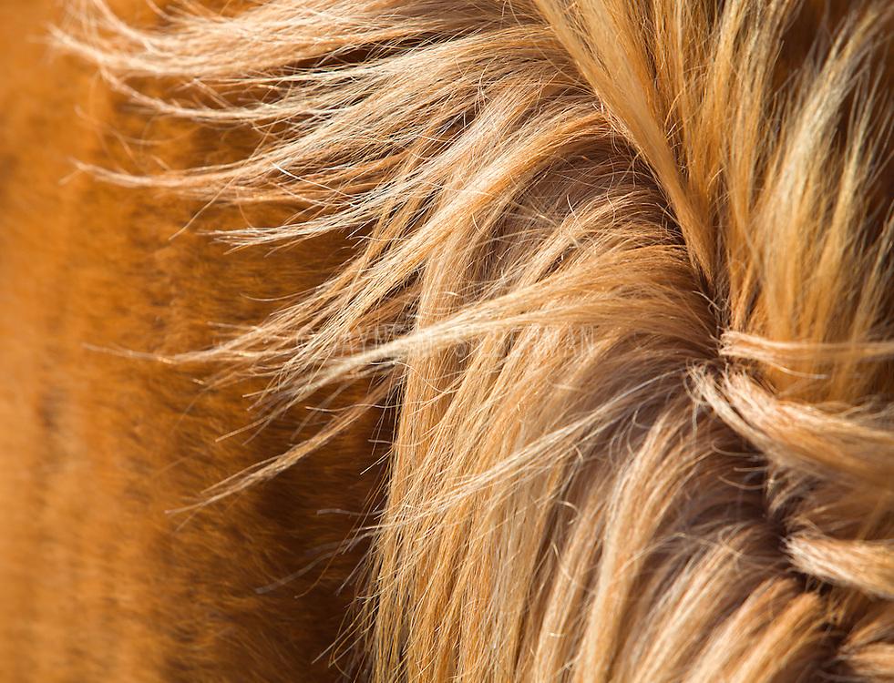 Detail of chestnut horse mane.