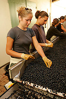 quality control of the harvested merlot grapes at Chateau Petrus, one of the great wine of the world, Pomerol, Bordeaux region, France