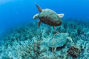 Two loggerhead sea tutles, Caretta caretta, avoid each other on a coral reef in Palm Beach, Florida, United States.
