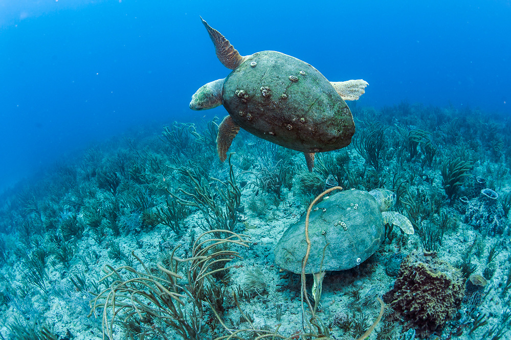 Two loggerhead sea tutles, Caretta caretta, avoid each other on a coral reef in Palm Beach, Florida, United States.