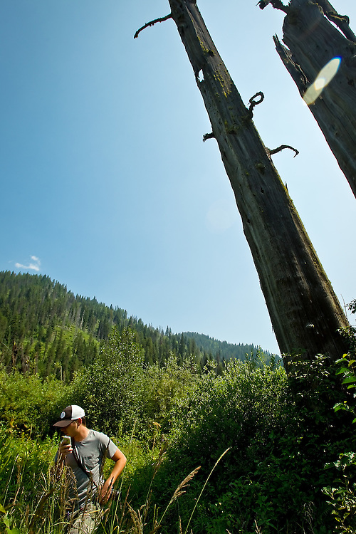 """David Cole walks through the tall grass and shrubs Tuesday, Aug. 3, 2010 surrounding the """"Ghost Cedars"""" on Moon Pass near Avery, Idaho. The large snags are some of the few items that still show the remnants of the 1910 Fires."""