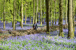 © Licensed to London News Pictures. 25/04/2018. ASHRIDGE, UK.  A visitor walks on a pathway amongst the bluebells in bloom in Dockey Wood, Hertfordshire.   As the popular location experiences high numbers of visitors, the National Trust has imposed an entrance fee in recent years and, this year, has built barricades of twigs and branches to clearly demarcate pathways in order to protect the delicate flowers from being trampled.    Photo credit: Stephen Chung/LNP
