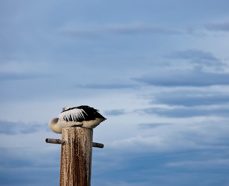 Pelican, Kangaroo Island, Australia