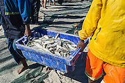 Mullet catch being carried off from a trek-net haul on the beach, Strandfontein, False Bay, Western Cape, South Africa