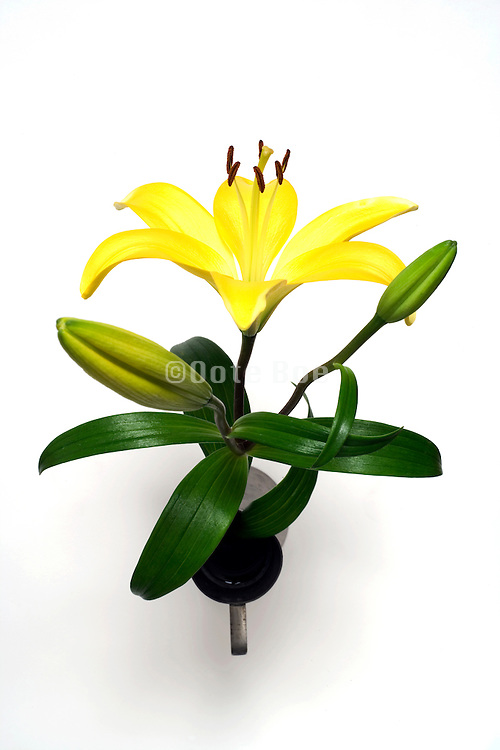 yellow Lily flower seen from above