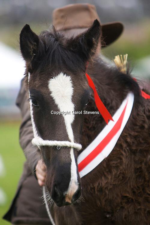G H &amp; G Emmott's  Currerwood Lucky Bob   f 2013   s Knutsford Edward II   d  Currerwood Mellisa<br /> Best Foal, colt or filly