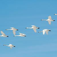 white swans, tundra in flight